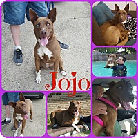 Adopt A Pet :: Jojo - Ft Worth, TX