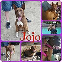 Husky/Shepherd (Unknown Type) Mix Dog for adoption in Ft Worth, Texas - Jojo