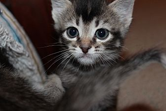 Domestic Shorthair Kitten for adoption in The Woodlands, Texas - Sugar