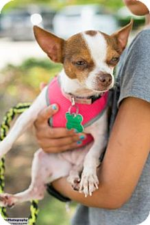 Chihuahua Mix Dog for adoption in Santa Fe, Texas - Leyla