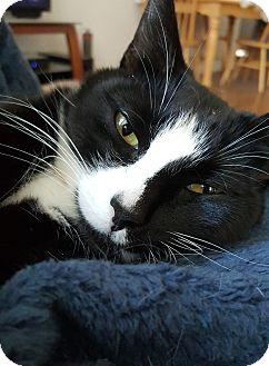Domestic Shorthair Cat for adoption in Kirkland, Washington - Matilda