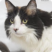 Calico Cat for adoption in El Dorado Hills, California - Lucy