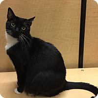 Domestic Shorthair Cat for adoption in Brea, California - CINDY