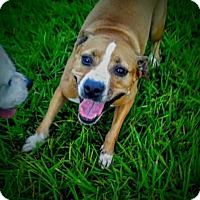 Boxer/Terrier (Unknown Type, Medium) Mix Dog for adoption in Miami, Florida - Nala