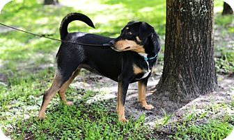 Miniature Pinscher Mix Dog for adoption in Jupiter, Florida - Jenny