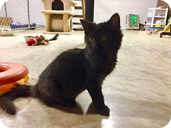 Maine Coon Kitten for adoption in Columbia, Tennessee - Julius Caesar