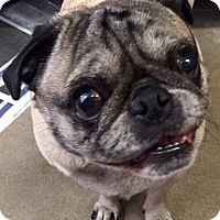 Pug Dog for adoption in Canoga Park, California - Alice AKA Bella