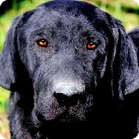 Adopt A Pet :: DOOGIE(THE LAB OF A LIFETIME! - Wakefield, RI