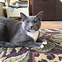 Domestic Shorthair Kitten for adoption in San Jose, California - Niles