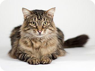 Domestic Mediumhair Cat for adoption in Kingston, Ontario - Bruce