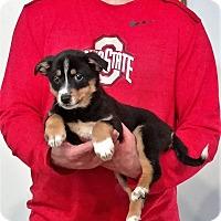 Adopt A Pet :: Lady - Gahanna, OH