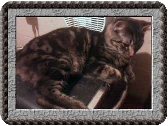 Manx Cat for adoption in Jacksonville, Florida - Monkey