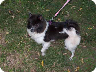 Pomeranian/Schipperke Mix Dog for adoption in Hesperus, Colorado - NIKKI