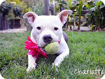 english bulldog bull terrier mix charlotte adopted dog auburn ca english bulldog 5047