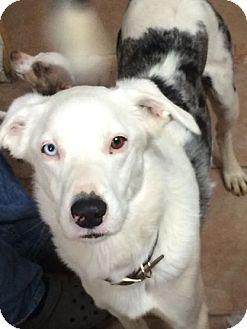 Australian Shepherd/Catahoula Leopard Dog Mix Dog for adoption in GRANBURY, Texas - Murphy