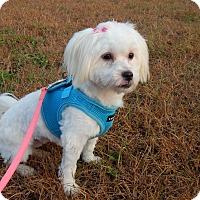 Adopt A Pet :: Bree - West Deptford, NJ