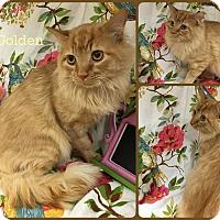 Adopt A Pet :: Golden - Joliet, IL