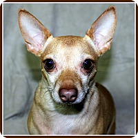 Chihuahua Dog for adoption in Seymour, Missouri - TIC TAC in Rogers, AR.
