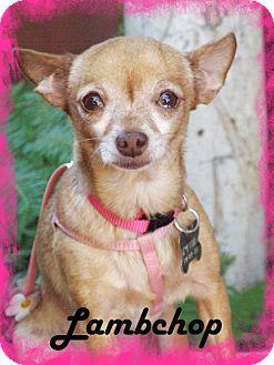 Chihuahua Dog for adoption in Anaheim Hills, California - Lambchop