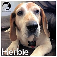 Adopt A Pet :: Herbie - Pittsburgh, PA
