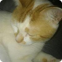 Adopt A Pet :: Pumpkin - Acushnet, MA