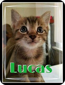Domestic Shorthair Kitten for adoption in Chicago, Illinois - Lucas