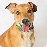 German Shepherd Dog/Golden Retriever Mix Dog for adoption in Eden Prairie, Minnesota - Marshall
