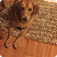 Dachshund/Terrier (Unknown Type, Small) Mix Dog for adoption in Aurora, Illinois - Anita