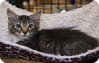 Domestic Longhair Kitten for adoption in Mooresville, North Carolina - A..  Tempo