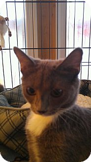 Domestic Shorthair Kitten for adoption in Waldorf, Maryland - Sasha