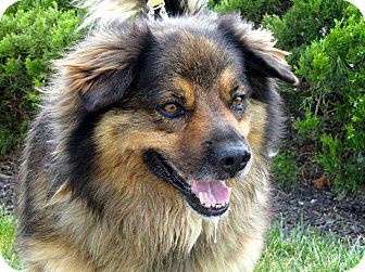 Australian Shepherd/Chow Chow Mix Dog for adoption in Overland Park, Kansas - A075819 Baloo