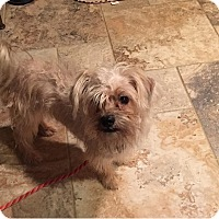 Yorkie, Yorkshire Terrier Mix Dog for adoption in Rockaway, New Jersey - Ivy