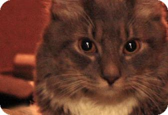 Domestic Mediumhair Cat for adoption in New York, New York - King