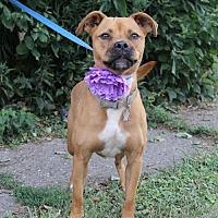 Adopt A Pet :: Storm - Lorain, OH