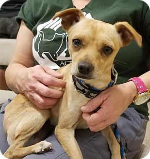 Chihuahua Mix Dog for adoption in Las Cruces, New Mexico - Tigger