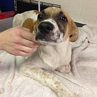 Adopt A Pet :: 6-18-16 Litter #4 - Magnolia, AR