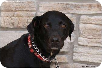 Labrador Retriever Mix Dog for adoption in Newcastle, Oklahoma - Miss Daisy