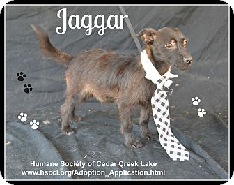 Terrier (Unknown Type, Small) Mix Puppy for adoption in Plano, Texas - Jaggar