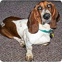 Adopt A Pet :: Wiggles - Phoenix, AZ