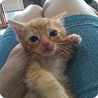 Adopt A Pet :: OJ - Sterling Hgts, MI