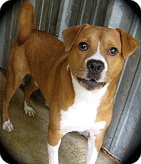 Retriever (Unknown Type)/American Pit Bull Terrier Mix Dog for adoption in Tahlequah, Oklahoma - Kent