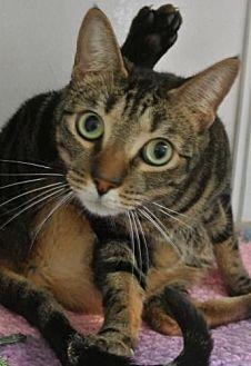Domestic Shorthair Cat for adoption in Sebastian, Florida - Obi