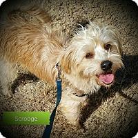Adopt A Pet :: SCROOGE - Weatherford, TX