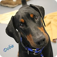 Adopt A Pet :: Dobie - Winter Haven, FL