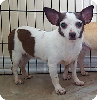 Chihuahua Dog for adoption in Dayton, Ohio - Taffy - Columbus, OH
