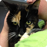 Calico Cat for adoption in Middletown, New York - Coppertone