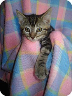 Domestic Shorthair Kitten for adoption in Woodstock, Ontario - Sven
