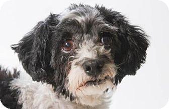 Havanese Dog for adoption in Colorado Springs, Colorado - Milo