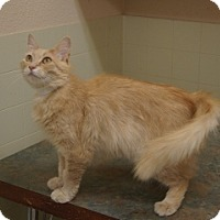 Domestic Mediumhair Cat for adoption in Libby, Montana - Buttercup