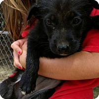 Adopt A Pet :: Black lab mixes--in NH soon! - Chichester, NH